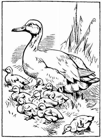 Duck Coloring Pages Ducklings Way Drawings Printable