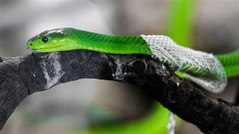 Snake Skin Shedding Use by Amazing Footage Of Snake Shedding It S Skin