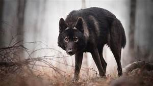 Wallpaper Black wolf look at you, forest 1920x1200 HD ...