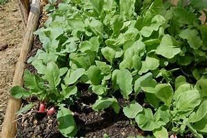 Culture Des Radis : radis culture semis et r colte au jardin potager ~ Melissatoandfro.com Idées de Décoration