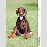 Brown Doberman Dog | 956 x 1300 jpeg 426kB