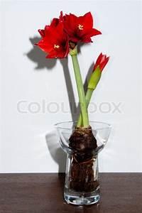 Amaryllis In Der Vase : close up of a red amaryllis withbulb and roots in glass ~ Lizthompson.info Haus und Dekorationen