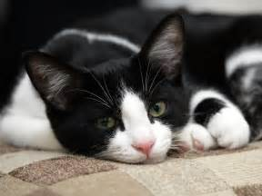 black and white cats cats images black white cat hd wallpaper and background