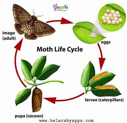 Cycle Moth Diagram Butterfly Ciclo Freepik Vida