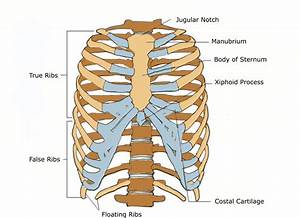 Anterior View Of A Human Thoracic Cage