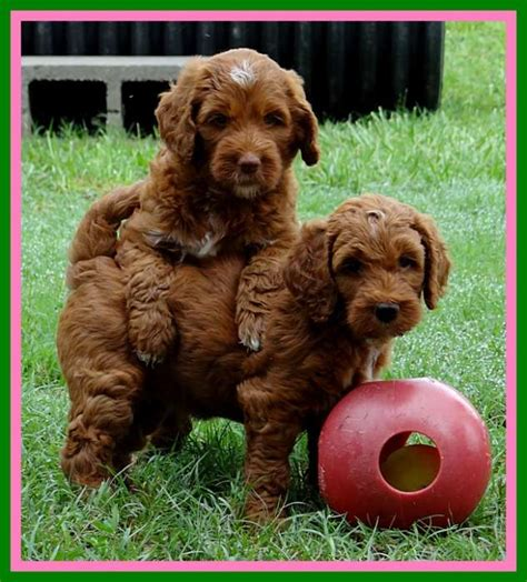 chocolate kisses southern charm labradoodles and australian