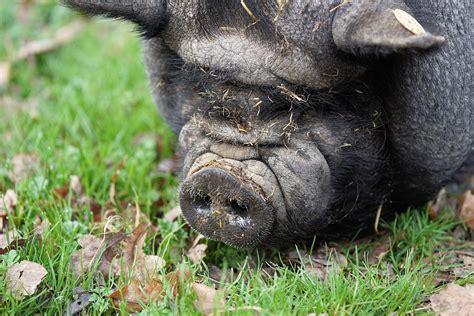 animal farm pig pig pot bellied farm domestic free photo on pixabay