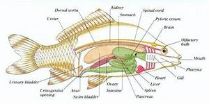 Fish Reproductive System Diagram