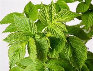 Himbeere Aroma Queen : himbeere aroma queen rubus idaeus aroma queen g nstig online kaufen ~ Orissabook.com Haus und Dekorationen