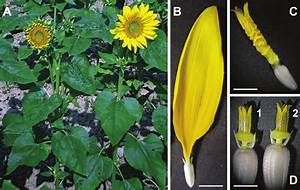The Tubular Ray Flower  Turf  Mutant Of Sunflower