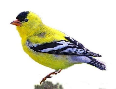 iowa state bird american goldfinch state birds