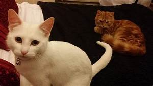 Fluffy ginger and pure white female cats | Warrington ...