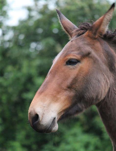 mule ears donkey mules bridle muleteers three long hybrid equine