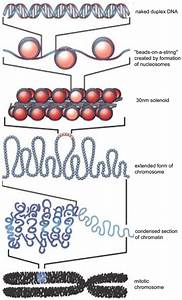 Diagram Of Chromatin : stem cell differentiation requires proper compaction of ~ A.2002-acura-tl-radio.info Haus und Dekorationen