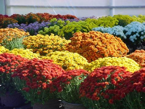 planting chrysanthemums in the fall 17 best images about fall garden on pinterest gardens fall flowers and cabbages