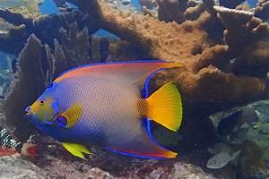 Queen Angelfish Facts