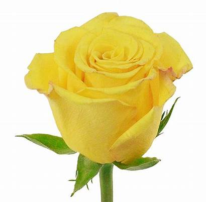 Rose Yellow Sonrisa Flower Charlotte