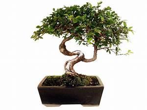Bonsai Chinesische Ulme : ein st ck japan f r zuhause bonsai arten und pflegeanleitung balkon garten haus garten ~ Frokenaadalensverden.com Haus und Dekorationen
