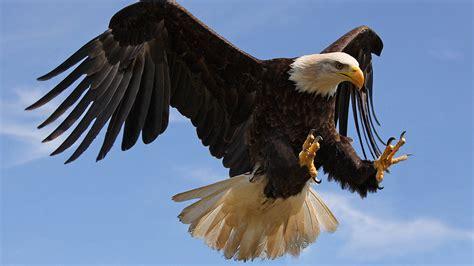 bald eagle attack  strong sharp claws desktop