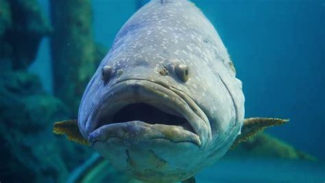 fish grouper queensland mini giant hd minor ugly shutterstock hardtop clip refresh detroit convertible