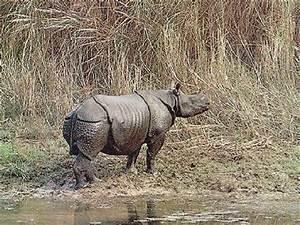 Javan Rhinoceros - Facts, Diet & Habitat Information