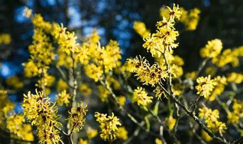 how to grow witch hazel alan titchmarsh on growing witch hazel in your garden garden life style express co uk