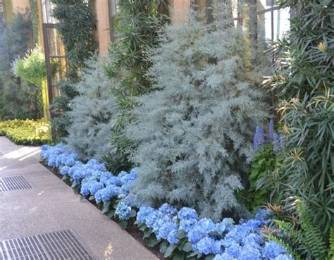 juniper smoke buy blue arizona cypress free shipping