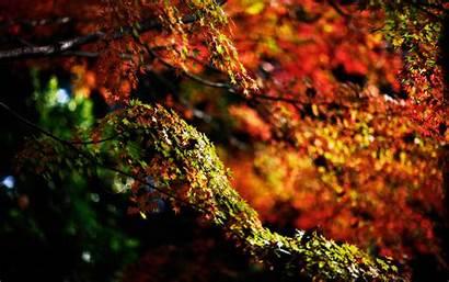 Autumn Tree Maple Trees Desktop Wallpapers Landscape