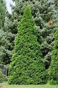 Immergrüne Hecke Schnellwachsend : die besten 25 thuja occidentalis smaragd ideen auf ~ Lizthompson.info Haus und Dekorationen