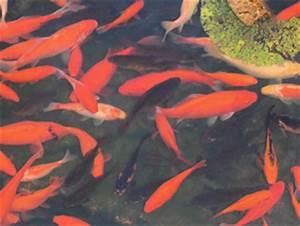 Goldfische Im Teich : 4teachers lehrproben unterrichtsentw rfe und unterrichtsmaterial f r lehrer und referendare ~ Eleganceandgraceweddings.com Haus und Dekorationen