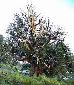 Methuselah - The World's Oldest Tree - Guinness World ...
