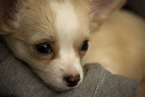 Fudge Puppy  Welcome To Fudge The Chihuahua Puppy Stuart Richards Flickr