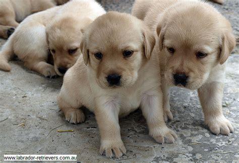 Yellow  Ee  Purebred Ee   Pedigree La Dor Pups  Flickr P O