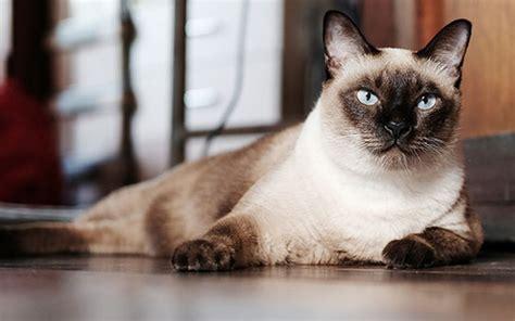 popular cat breeds native breedorg