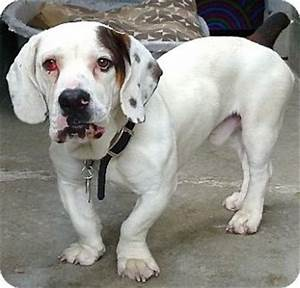 Mac   Adopted Dog   Carmel, NY   Basset Hound/English ...