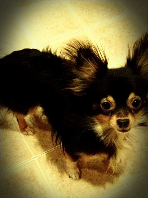 images  long haired chihuahuas  pinterest