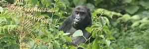 Studying Grauer's gorilla behaviors   Dian Fossey
