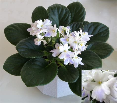 violet leaves turning white 17 best images about wonderful african violets on pinterest miniature winter flowers and violets