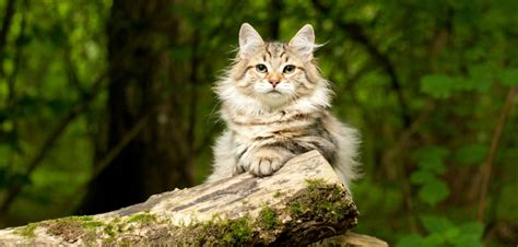 siberian cat cost much forest does