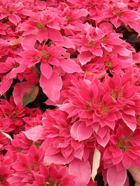 poinsettia pink die hochbl 228 tter der poinsettie erstrahlen in kr 228 ftigem pink sfe weihnachtsstern poinsettia
