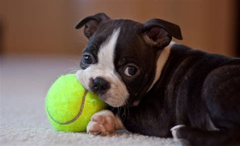 10 best boston terrier names