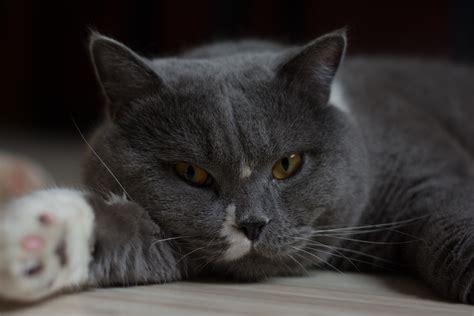 britisch kurzhaar kater foto bild blau natur katze