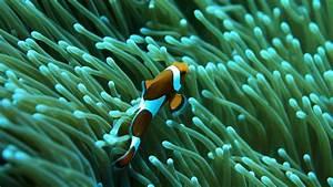 Wonderful Clownfish in Aquarium Photo Picture HD Download ...