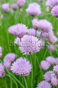 Allium Pflanzen Im Frühjahr : bild schnittlauch allium schoenoprasum 533613 bilder und videos von pflanzen und g rten ~ Yasmunasinghe.com Haus und Dekorationen