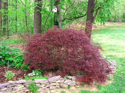 japanese maple shrub dwarf japanese maple twospoiledcats