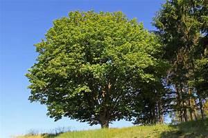 Laubbaum Mit Roten Blättern : datei ahornbaum in st martin langfeld 02 2014 06 n naturdenkmal gd wikipedia ~ Frokenaadalensverden.com Haus und Dekorationen