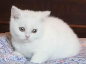 Rare White British Shorthair Kittens | Monmouth ...