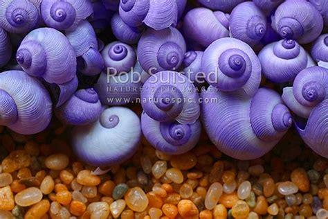 purple seashells  sand  zealand native glossy violet