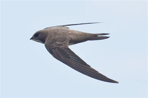 Image result for alpine swift