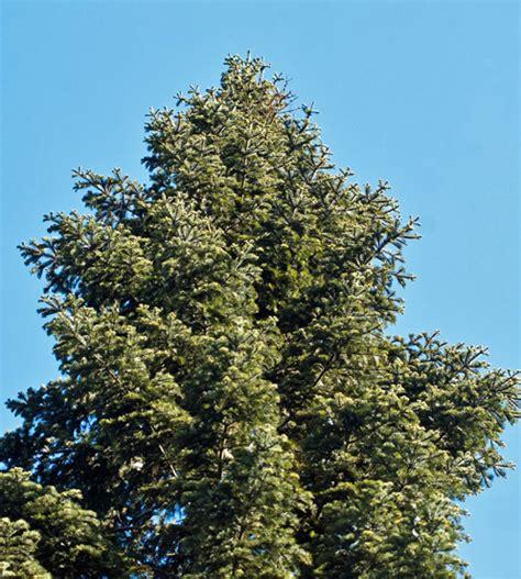 weisstanne steckbrief fortpflanzung nutzung und